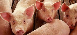 dopolnitelni subvencii za razvoj na svinjarstvoto