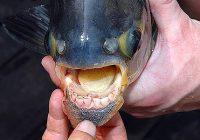Дојранската пирана привлече голем број рибари