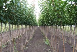 se prodavaat sadnici so makedonski sertifikat i biohumus