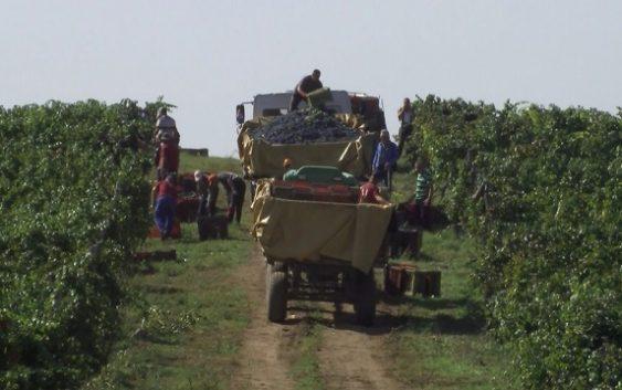 Исплата на винско грозје