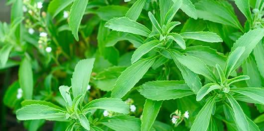 Одгледување и лековити својства на стевиата