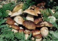 Собирање печурки – добар семеен бизнис