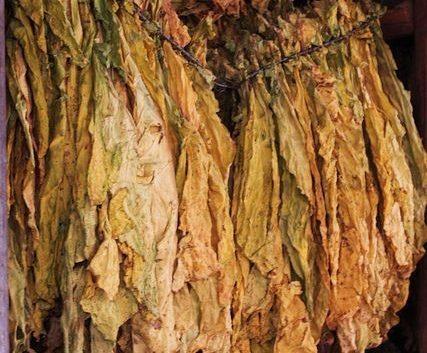 Откупот на тутун се одвива непречено, ќе се стимулира побарувачката