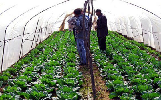 Струмичките земјоделци задоволни од откупната цена на пролетната зелка
