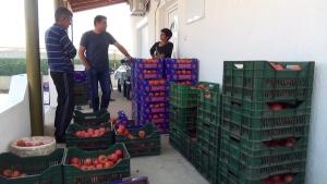 Земјоделците од струмичко ја чекаат одлуката за интервентните субвенции за доматите