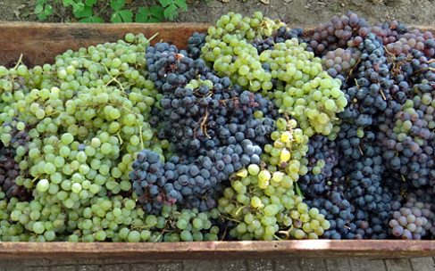 Плодна година во лозарството, се најавува голем интерес за откуп на грозјето