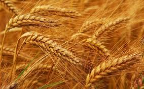 Земјоделците без откупна цена за пченицата