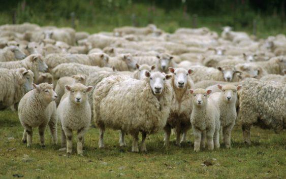 Препораки од АХВ за заштита на добитокот и милениците од топлото време