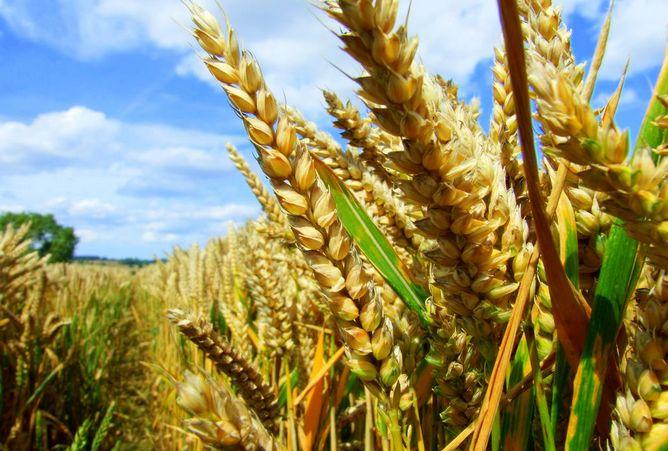Photo of Есенската пченица добро напредува