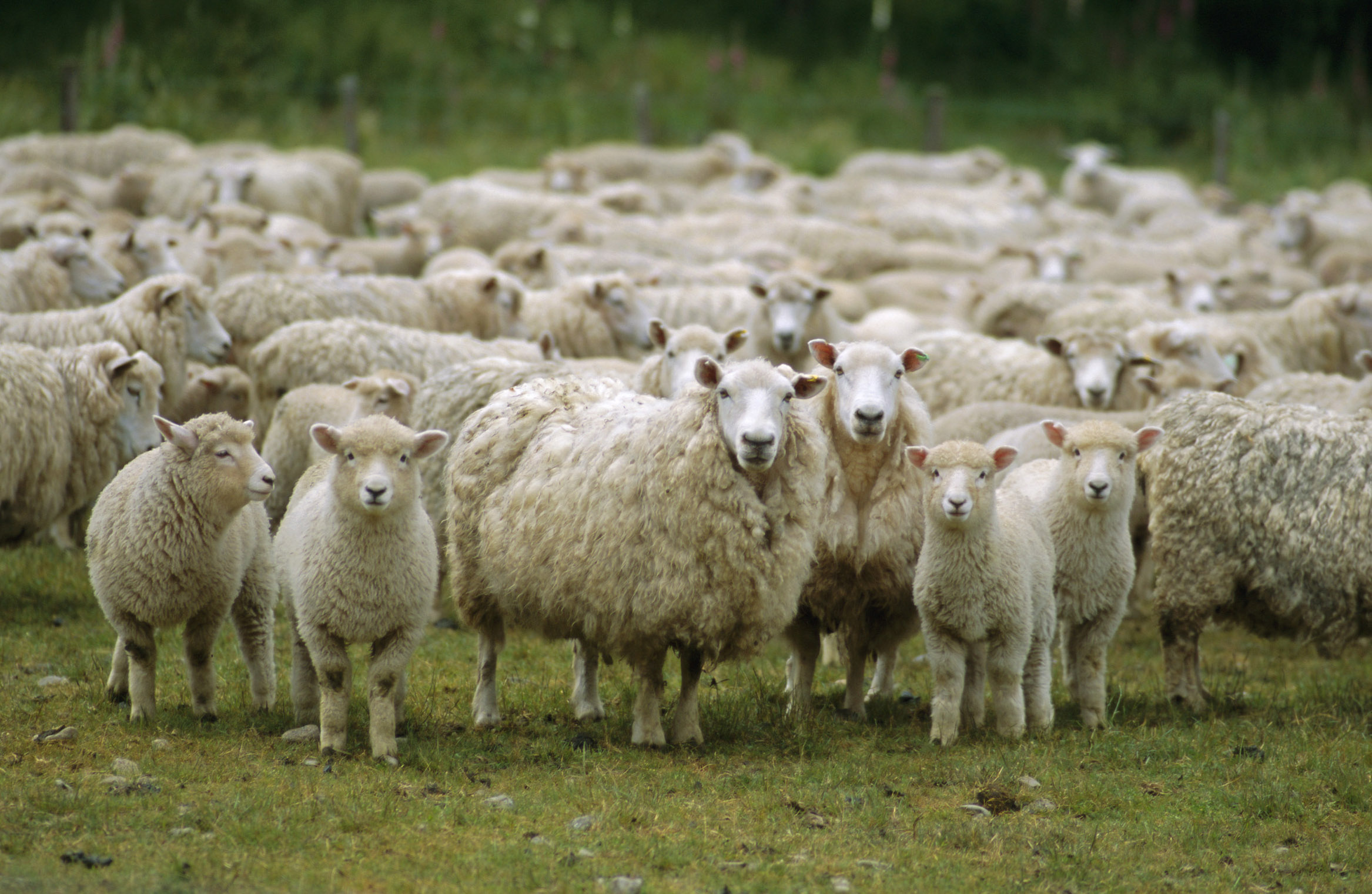 Photo of Нема овчари за овците
