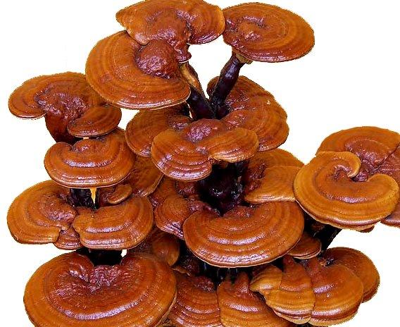 """Photo of Печурката на бесмртноста """"реиши"""" се одгледува во Колешино"""