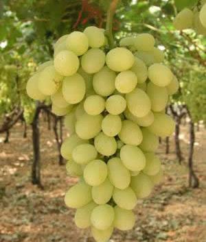 Се садат и вински и трпезни сорти грозје