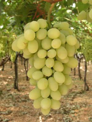 Photo of Се садат и вински и трпезни сорти грозје