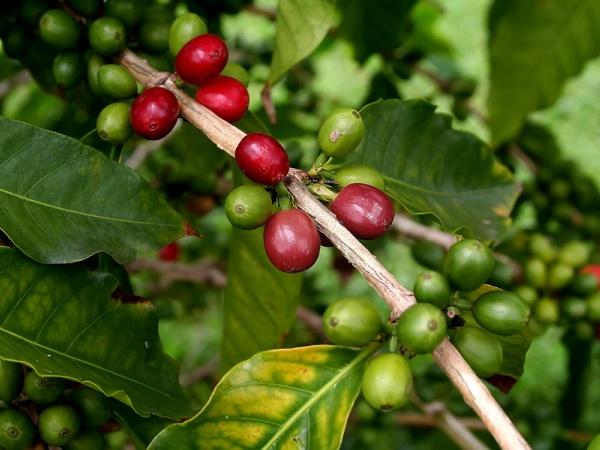 Photo of Инвестираат милијарди долари во Јужен Судан, за да го претворат во извозник на кафе
