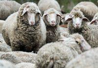 Освен кучињата и мачките, педигре добиваат и кравите, овците и козите