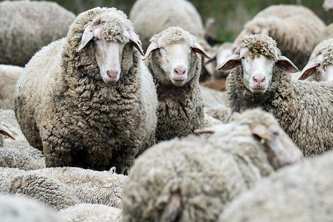 Photo of Освен кучињата и мачките, педигре добиваат и кравите, овците и козите