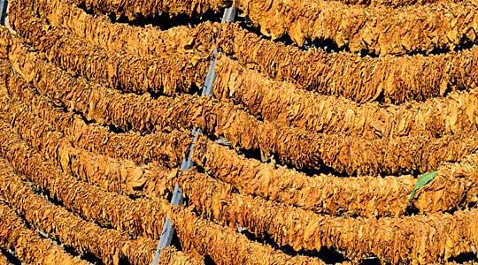 Photo of Откупени 100 тони тутун во село Иванковци