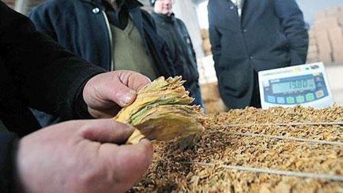 Photo of Откупот на тутунот со добра цена и помала понуда
