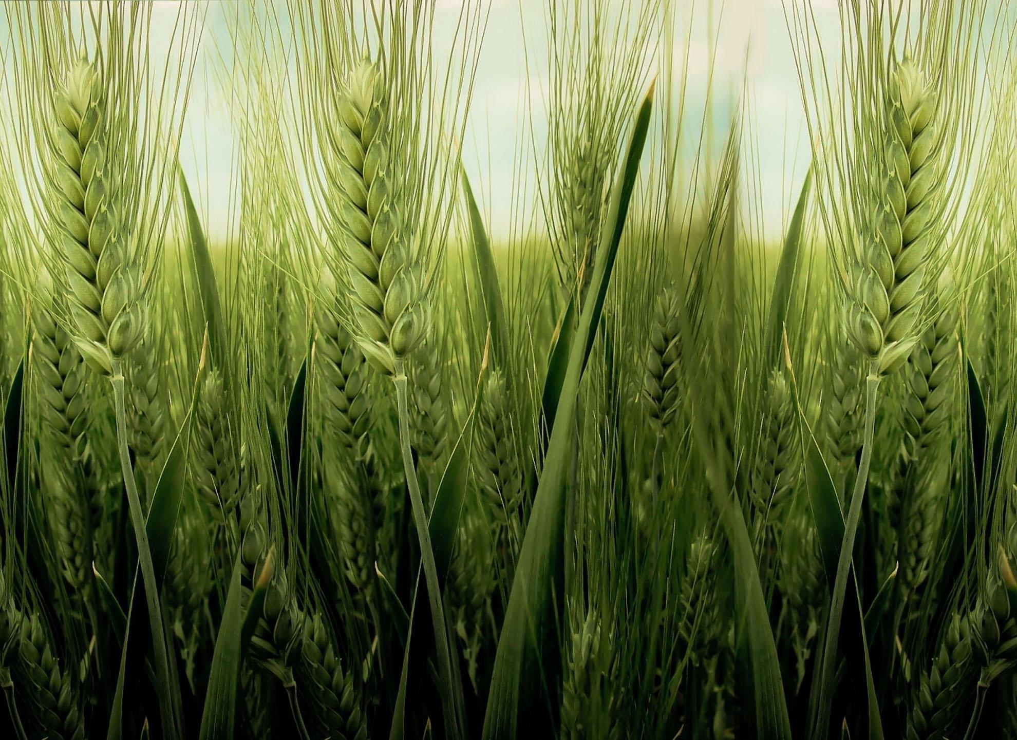 Photo of По поплавите, посевите со жито страдаат од суша