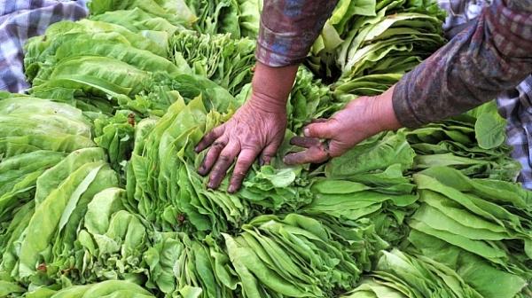 Photo of Првпат годинава електронски евидентни листови за тутунопроизводителите
