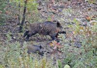 Богата сезона за кичевските ловџии