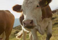 Крава роди три телиња во неготинско Дуброво