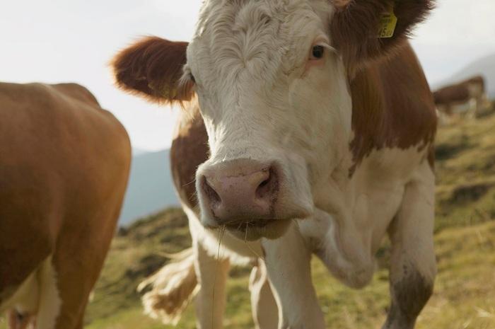 krava rodi tri telinja vo negotinsko dubrovo