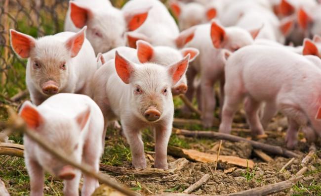 Photo of Паѓа цената на свинското месо, производителите загрижени