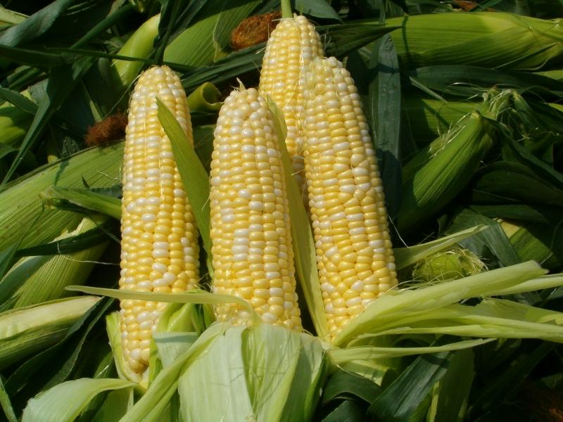 rusija go zabranuva uvozot na amerikanska soja i pchenka