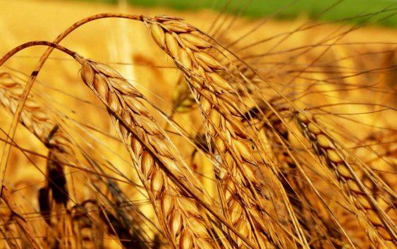 Годинава ќе јадеме леб од домашна пченица