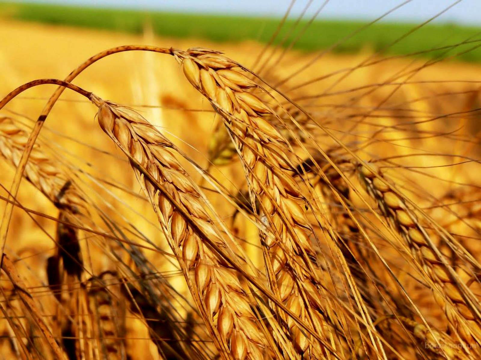 Photo of Годинава ќе јадеме леб од домашна пченица