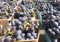 Лани уништени 100 тони грозје полно со пестициди