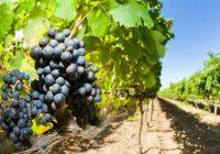 Лозарите тријат раце: чекаат одлична реколта, а винариите бараат килограм повеќе