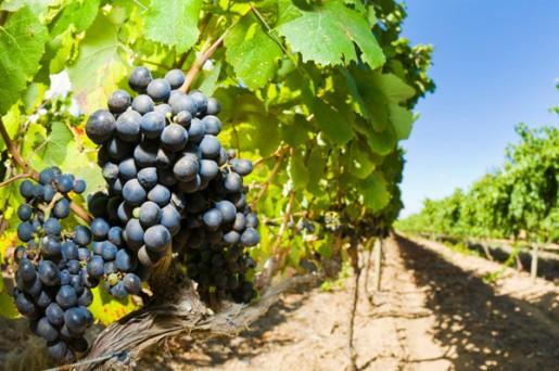 Photo of Лозарите тријат раце: чекаат одлична реколта, а винариите бараат килограм повеќе
