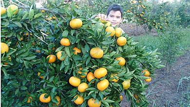 Photo of Мандарини и портокали растат во Негорци и во Војшанци