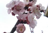 Оштетени цветовите на кајсијата во тиквешкиот регион