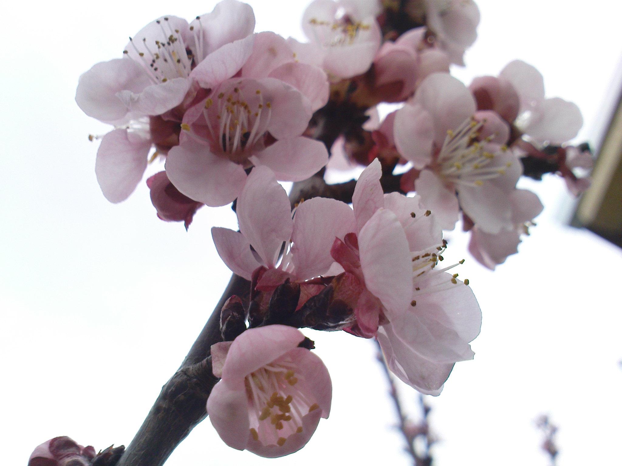 Photo of Оштетени цветовите на кајсијата во тиквешкиот регион