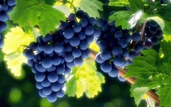 За 65,8 отсто зголемено производството на грозје