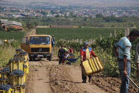 Зголемен интересот за органско лозарство во Тиквешијата
