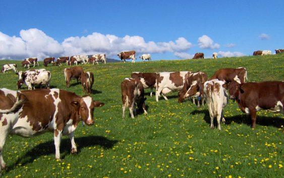 Поддршка од 80 отсто за набавка на високоприносен добиток