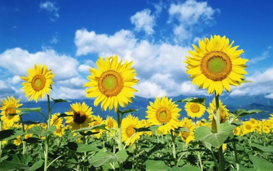 За една година четири пати зголемени површините на афион и за 1.000 хектари на сончоглед