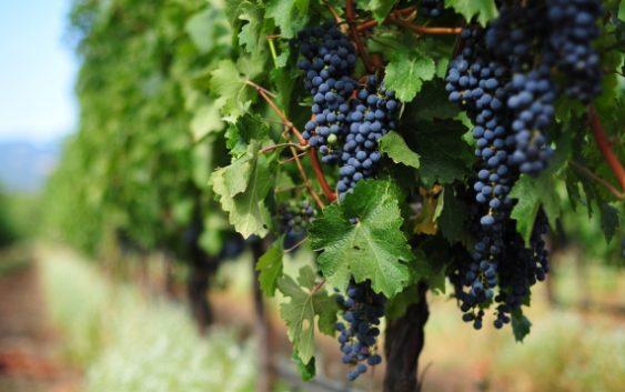 Лозарите очекуваат поголем и поквалитетен род на грозјето годинава
