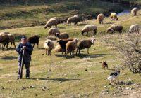 Македонските овчари во Хрватска, а албанските во Македонија