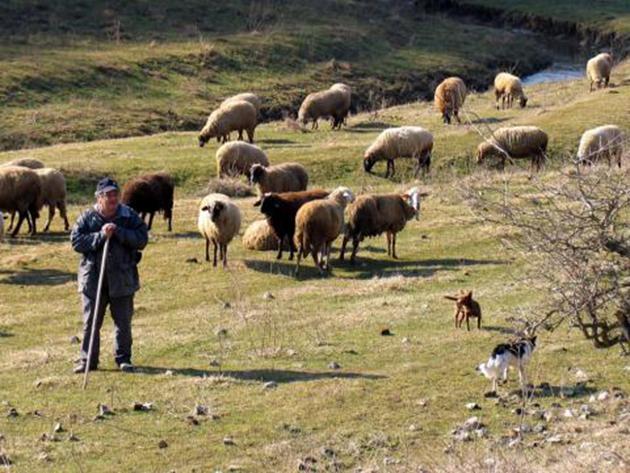 Photo of Македонските овчари во Хрватска, а албанските во Македонија