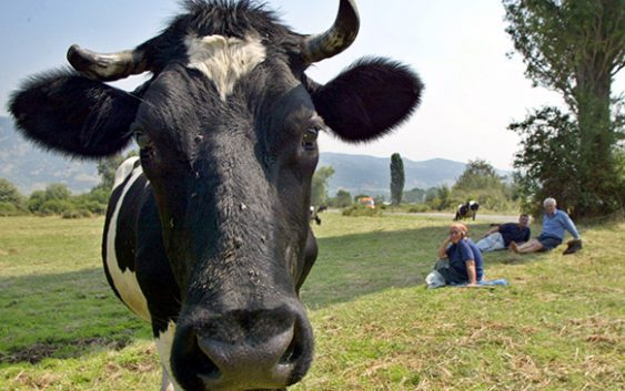 """Нови жаришта на болеста """"јазлеста кожа"""" кај добитокот"""
