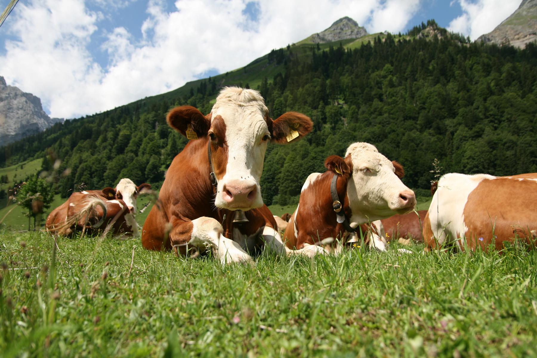 Photo of Од крајот на мај вакцинација на сите говеда против јазлестата кожа