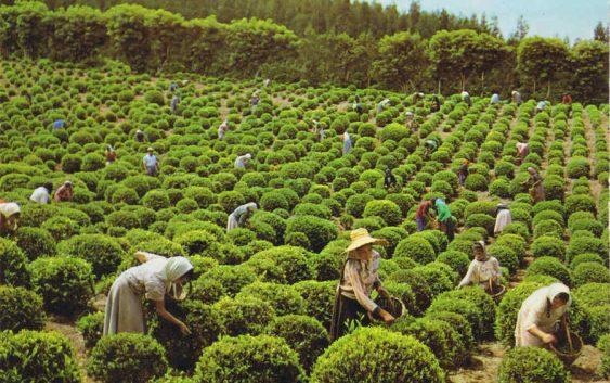 Кенија ќе го продава чајот според однапред утврдени договори за цени