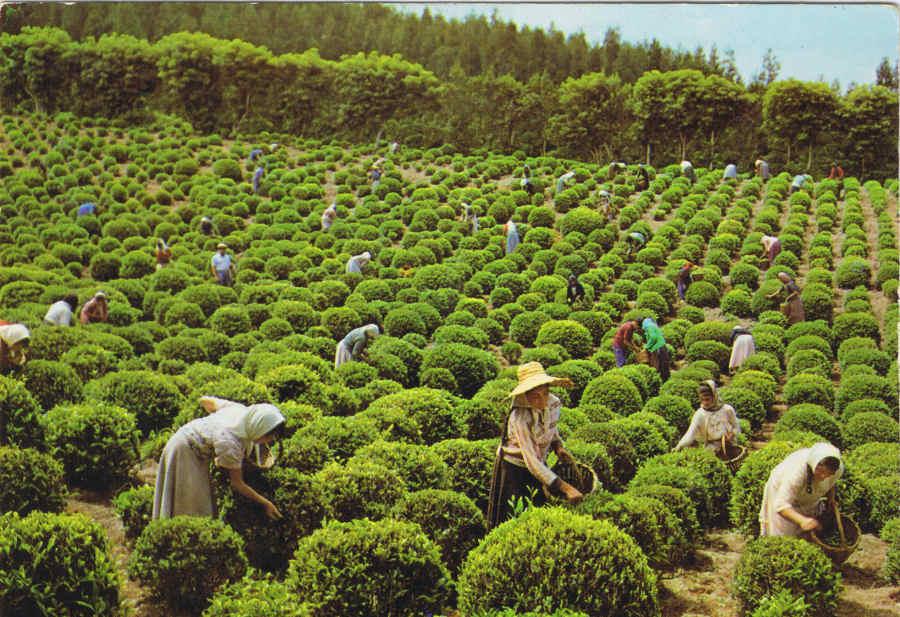 Photo of Кенија ќе го продава чајот според однапред утврдени договори за цени