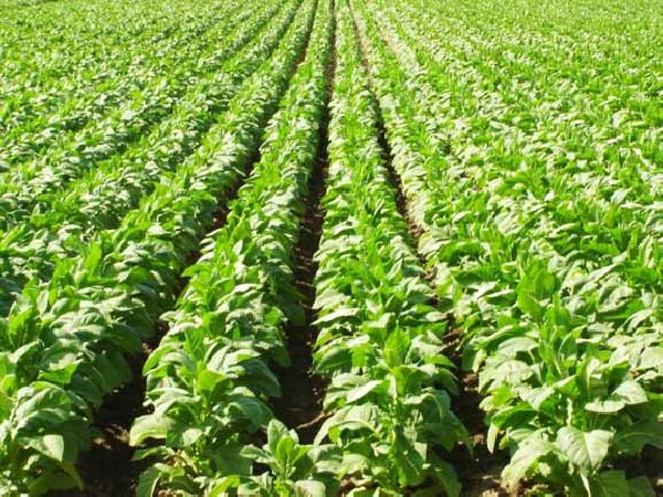 Photo of Се сади нова реколта, се очекува подобар род