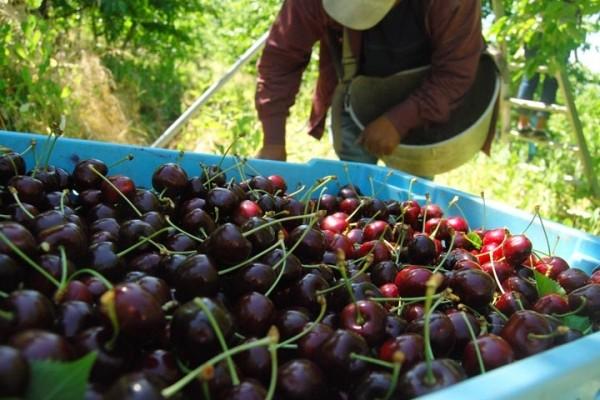 Photo of Во полн ек е бербата на вишни